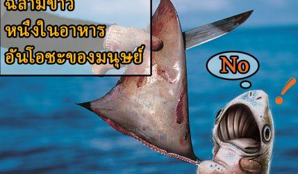 ฉลามขาว หนึ่งในอาหารอันโอชะของมนุษย์